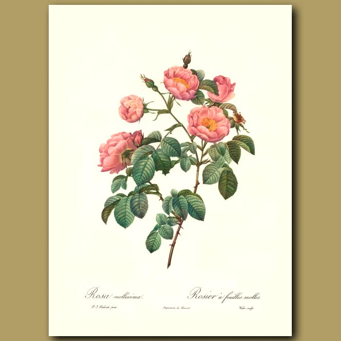 Antique print. Pink Rose (Rosa mollissima)