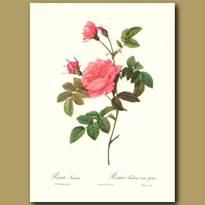 Antique print. Pink Rose (Rosa inermis)