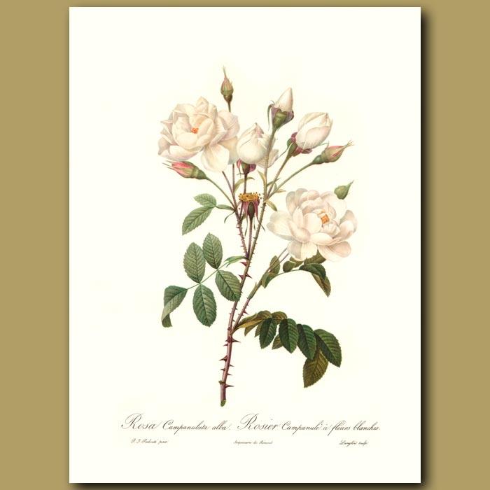 Antique print. White Rose (Rosa campanulata)