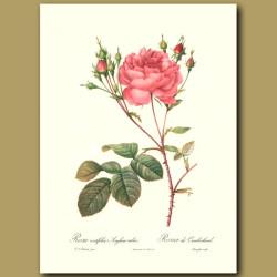 Pink Rose (Rosa centifolia anglica)