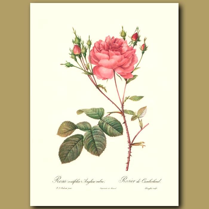 Antique print. Pink Rose (Rosa centifolia anglica)