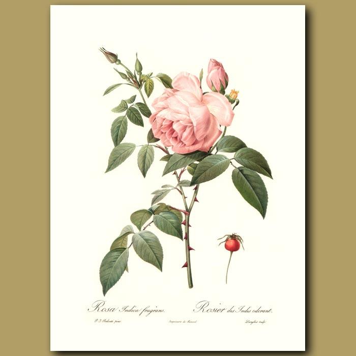 Antique print. Pink Rose (Rosa indica fragrans)