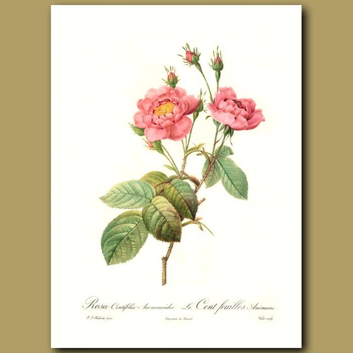 Antique print. Pink Rose (Rosa centifolia anemonoide)