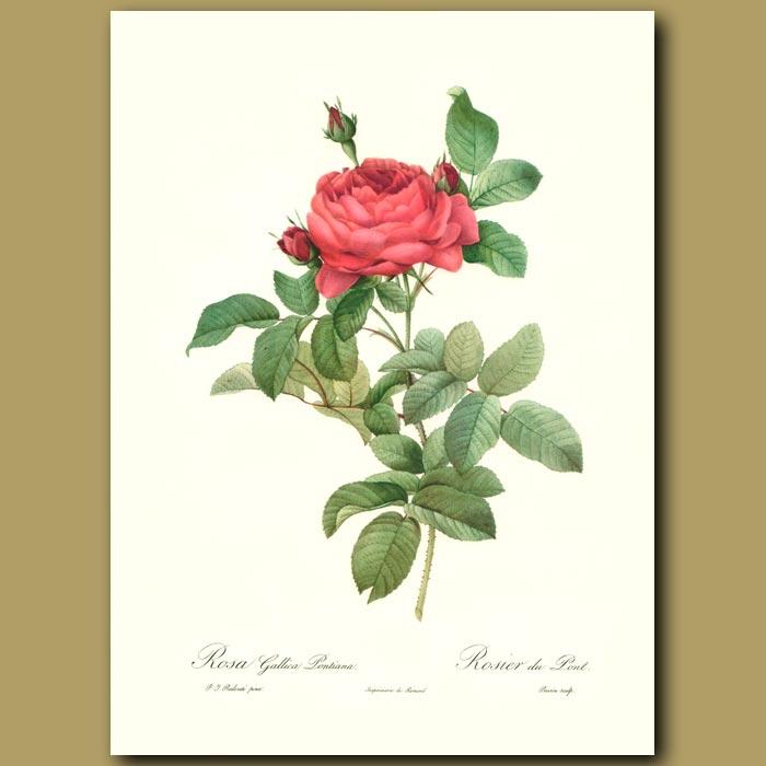 Antique print. Red Rose (Rosa gallica pontiana)