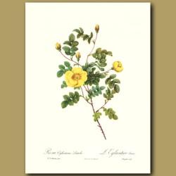 Yellow Rose (Rosa eglanteria luteola)