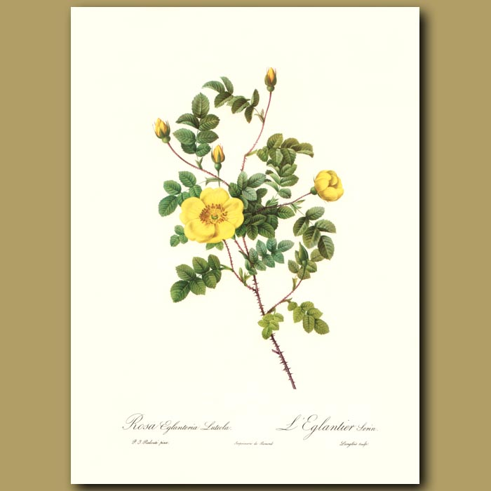 Antique print. Yellow Rose (Rosa eglanteria luteola)