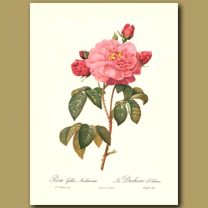 Antique print. Pink Rose(Rosa gallica aurelianensis)