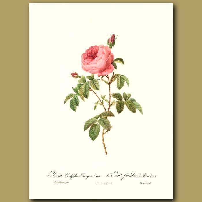 Antique print. Pink Rose(Rosa centifolia burgundica)