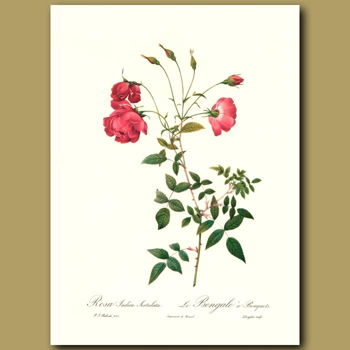 Antique print. Red Rose (Rosa indica sertulata)