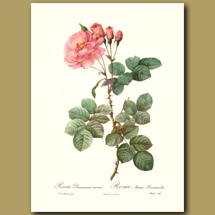 Antique print. Pink Rose (Rosa damascena aurora)