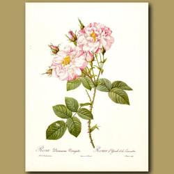 Pink Rose (Rosa damascena variegata)