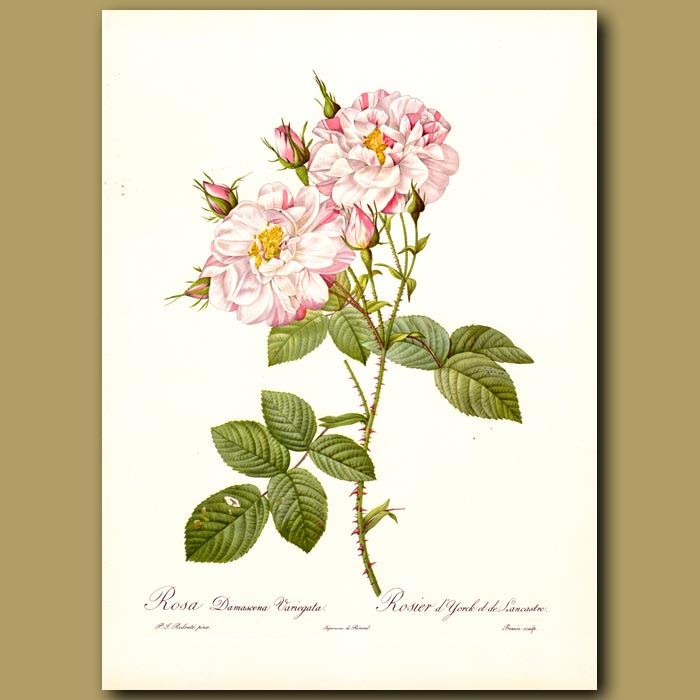 Antique print. Pink Rose (Rosa damascena variegata)