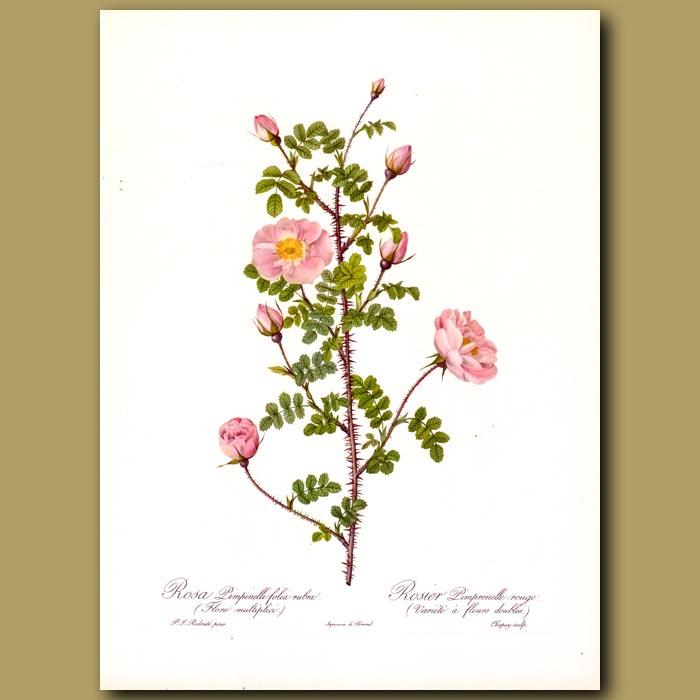 Antique print. Pink Rose (Rosa pimpinelli folia rubra)