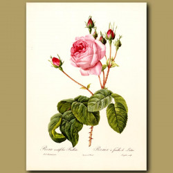 Pink Rose (Rosa centifolia bullata)