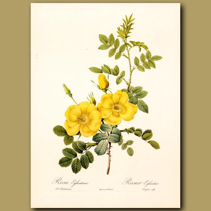 Antique print. Yellow Rose (Rosa eglanteria)