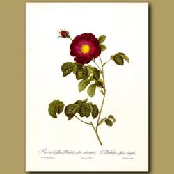 Red Rose (Rosa gallica maheka)