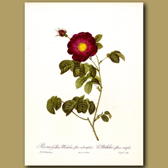 Antique print. Red Rose (Rosa gallica maheka)