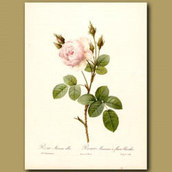 White Rose (Rosa muscosa alba)