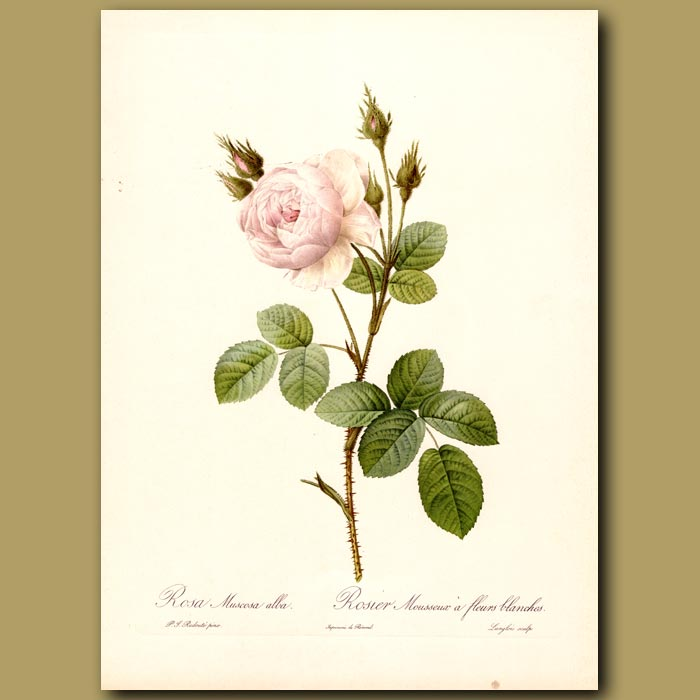 Antique print. White Rose (Rosa muscosa alba)