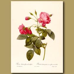 Pink Rose (Rosa redinata flore)