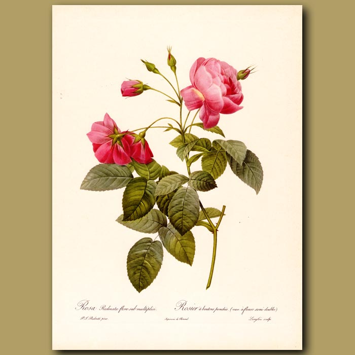 Antique print. Pink Rose (Rosa redinata flore)