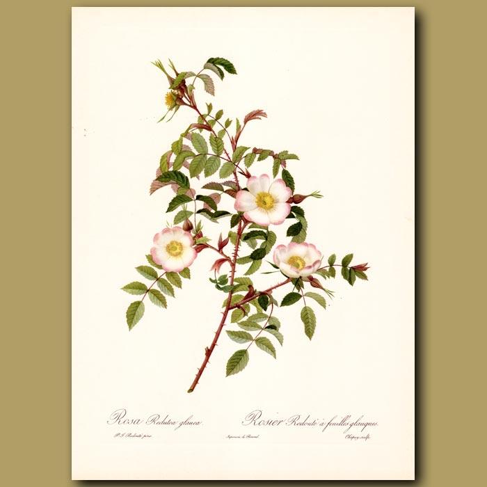 Antique print. Pink Rose (Rosa redutea glauca)