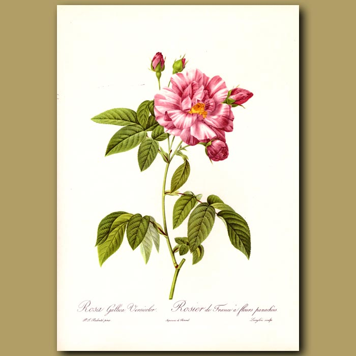 Antique print. Pink Rose (Rosa gallica versicolor)