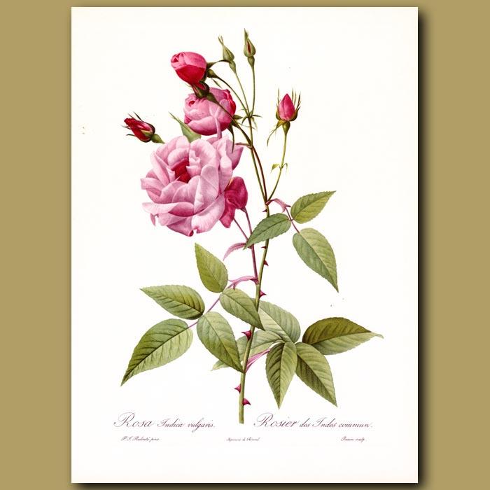 Antique print. Pink Rose (Rosa indica vulgaris)