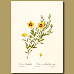 Yellow Rose (Rosa berberifolia)