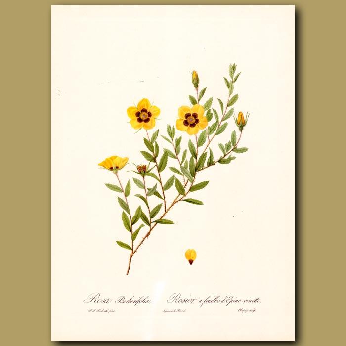 Antique print. Yellow Rose (Rosa berberifolia)