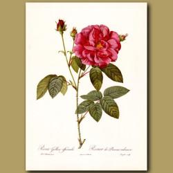 Red Rose (Rosa gallica officinalis)