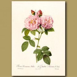 Pink Rose (Rosa damascena italica)