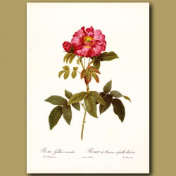 Red Rose (Rosa gallica caerulea)