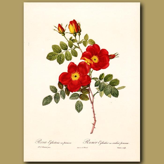 Antique print. Red Rose (Rosa eglanteria punicea)