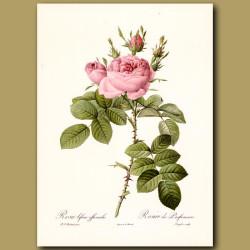 Pink Rose (Rosa bifera officinalis)
