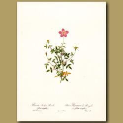 Pink Rose (Rosa indica pumila)