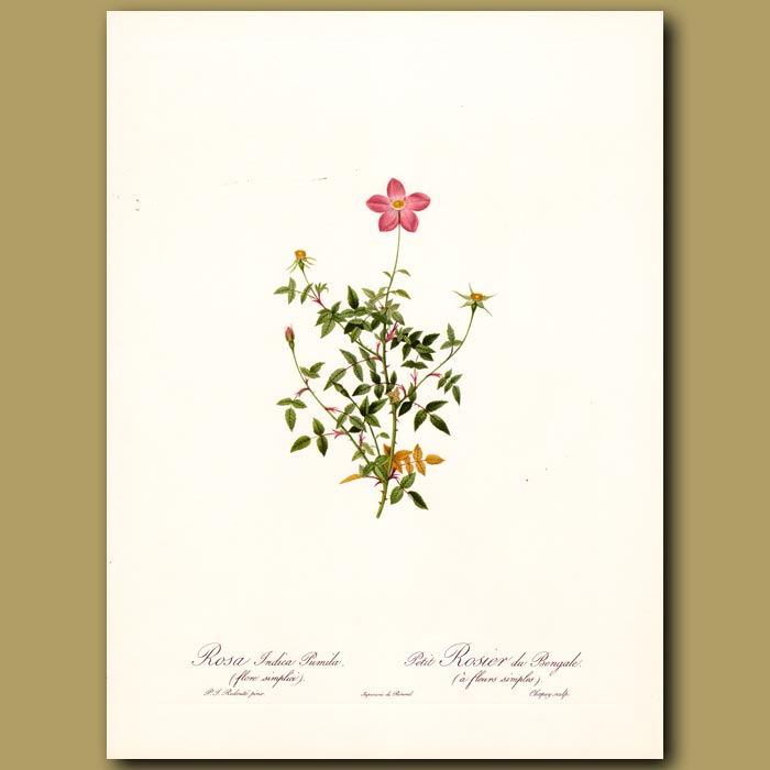 Antique print. Pink Rose (Rosa indica pumila)