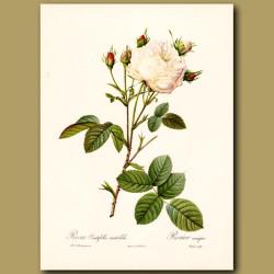 White Rose (Rosa centifolia mutab.)