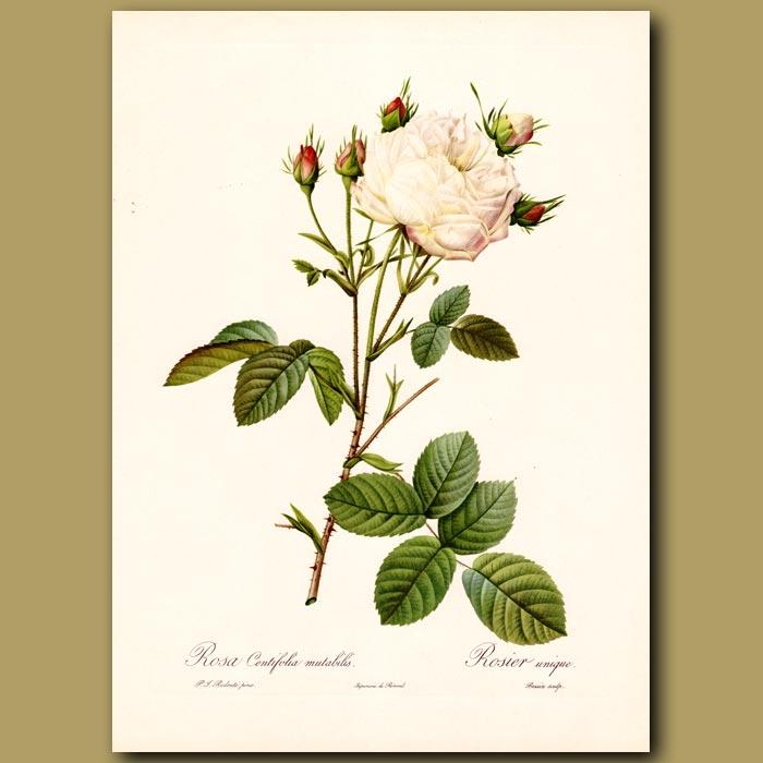 Antique print. White Rose (Rosa centifolia mutab.)