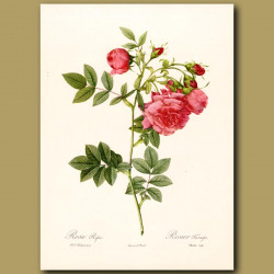 Pink Rose (Rosa rapa)
