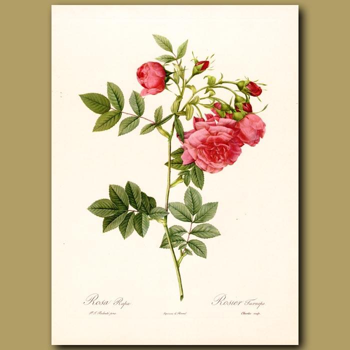 Antique print. Pink Rose (Rosa rapa)
