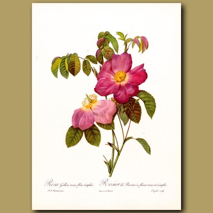 Antique print. Red Rose (Rosa gallica purpurea)