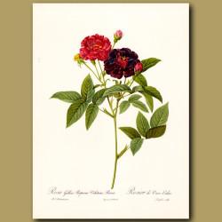 Dark Pink Rose (Rosa gallica rosea)