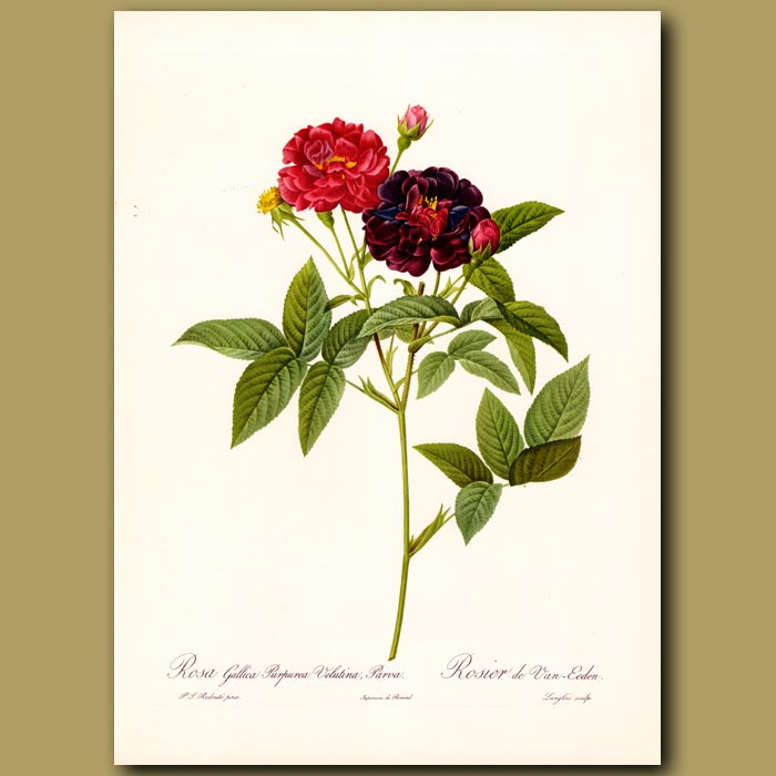Antique print. Dark Pink Rose (Rosa gallica rosea)
