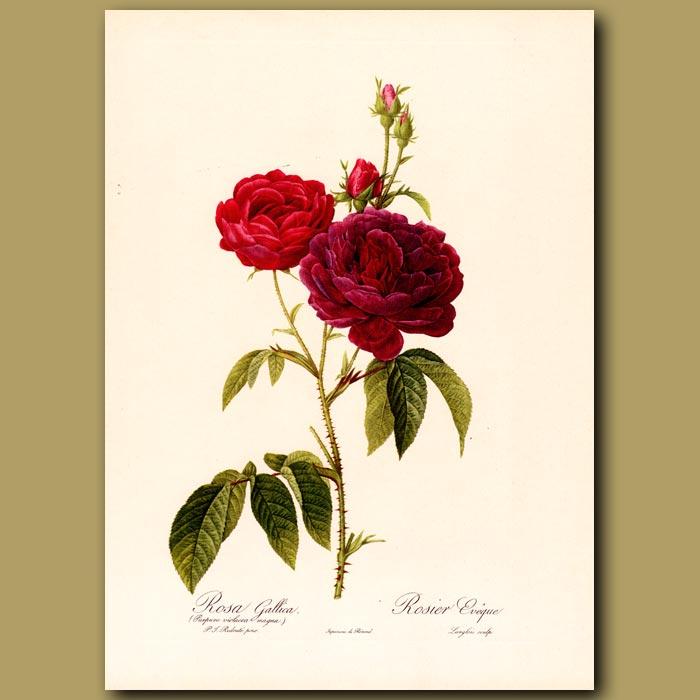 Antique print. Red Rose (Rosa gallica)