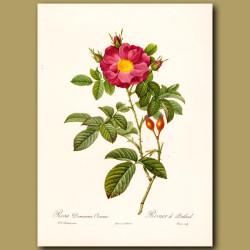 Red Rose (Rosa damascena coccinea)