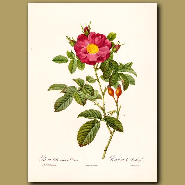 Antique print. Red Rose (Rosa damascena coccinea)