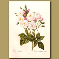 Pink Rose (Rosa noisettiana)