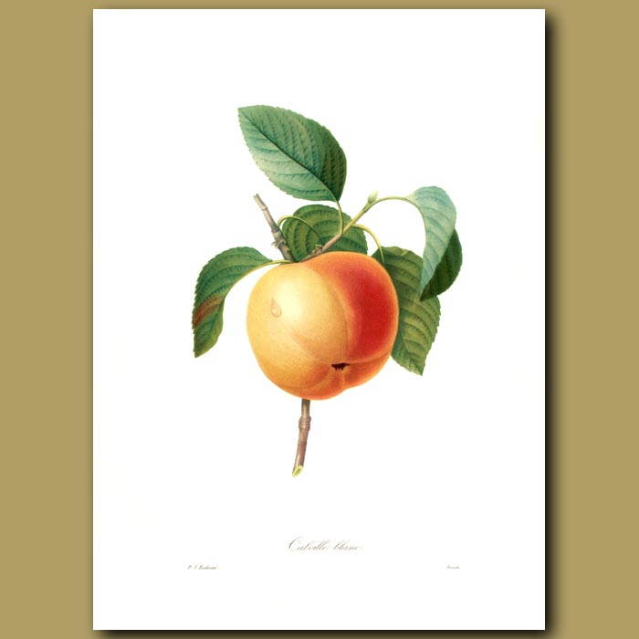 Antique print. Apple