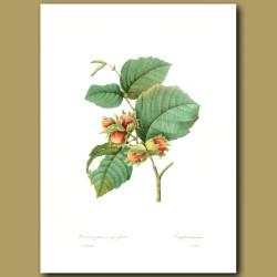 Filbert [Hazelnut]